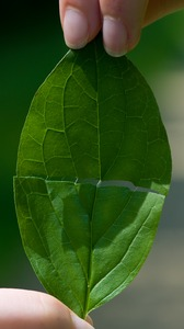 dogwood latex from leaf