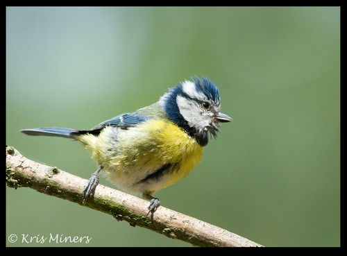 BLUE TIT HANDHELD WITH THE NIKON 600MM LENS