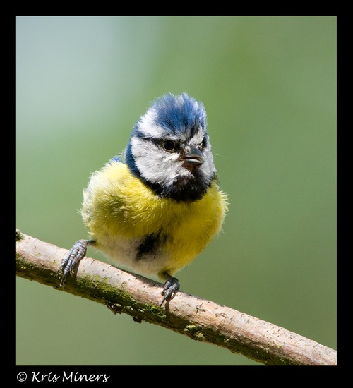 BLUE TIT HANDHELD WITH NIKON 600MM